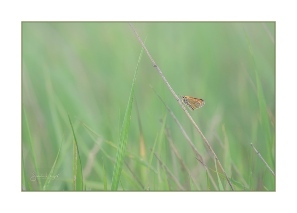 Essex Skipper on grasses