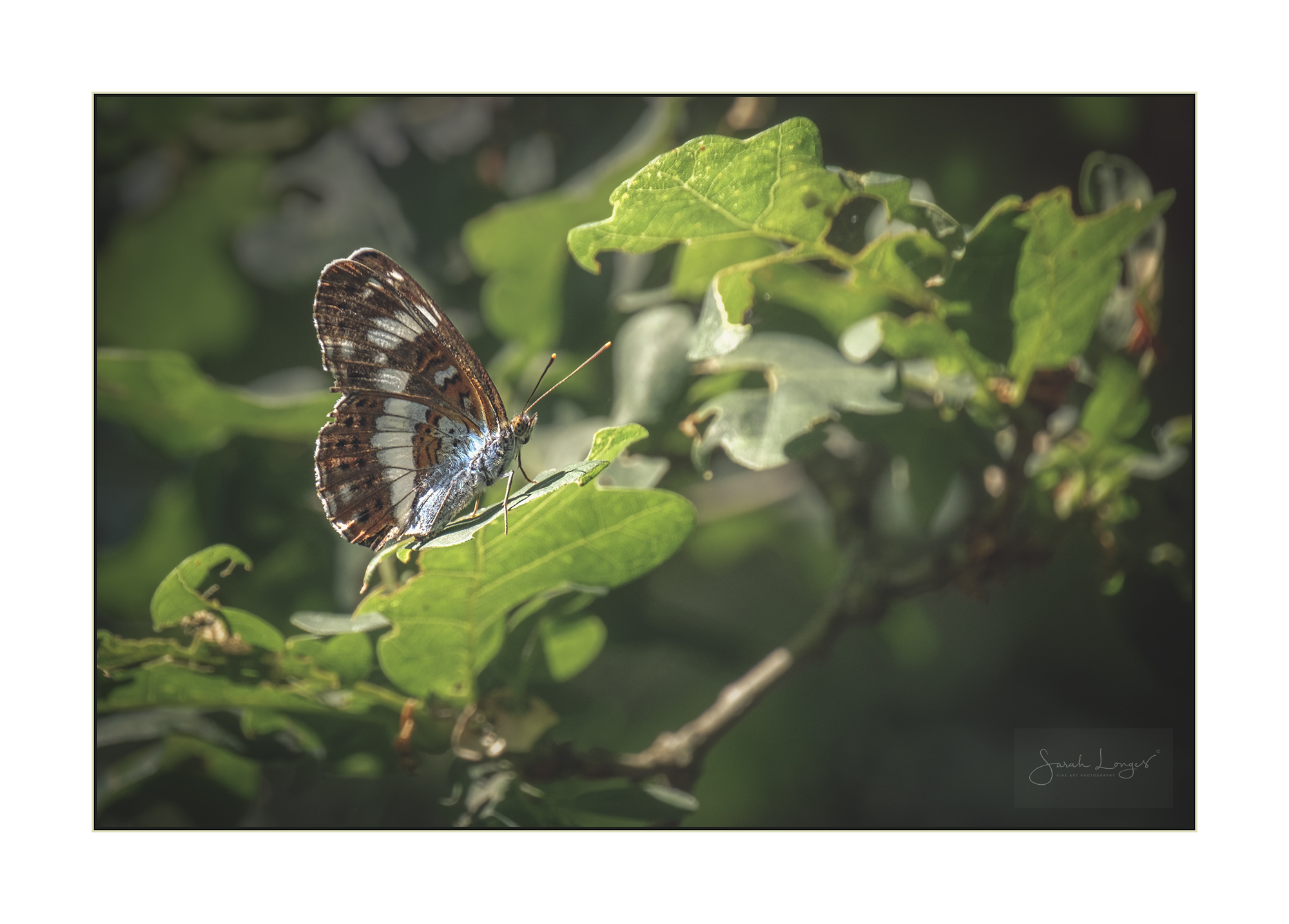 White Admiral in woodland
