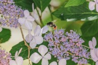 Bee on hydrangea