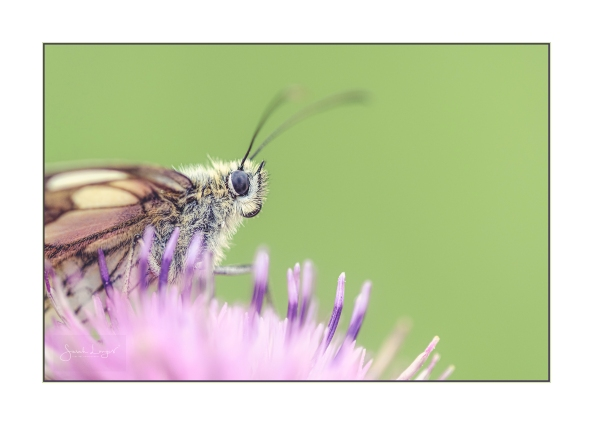 Marbled White Macro