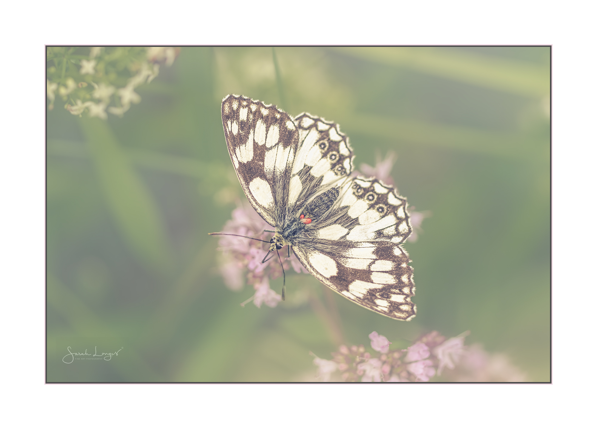 Marbled White showing mites on body