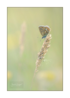 Female Common Blue at Heather Farm