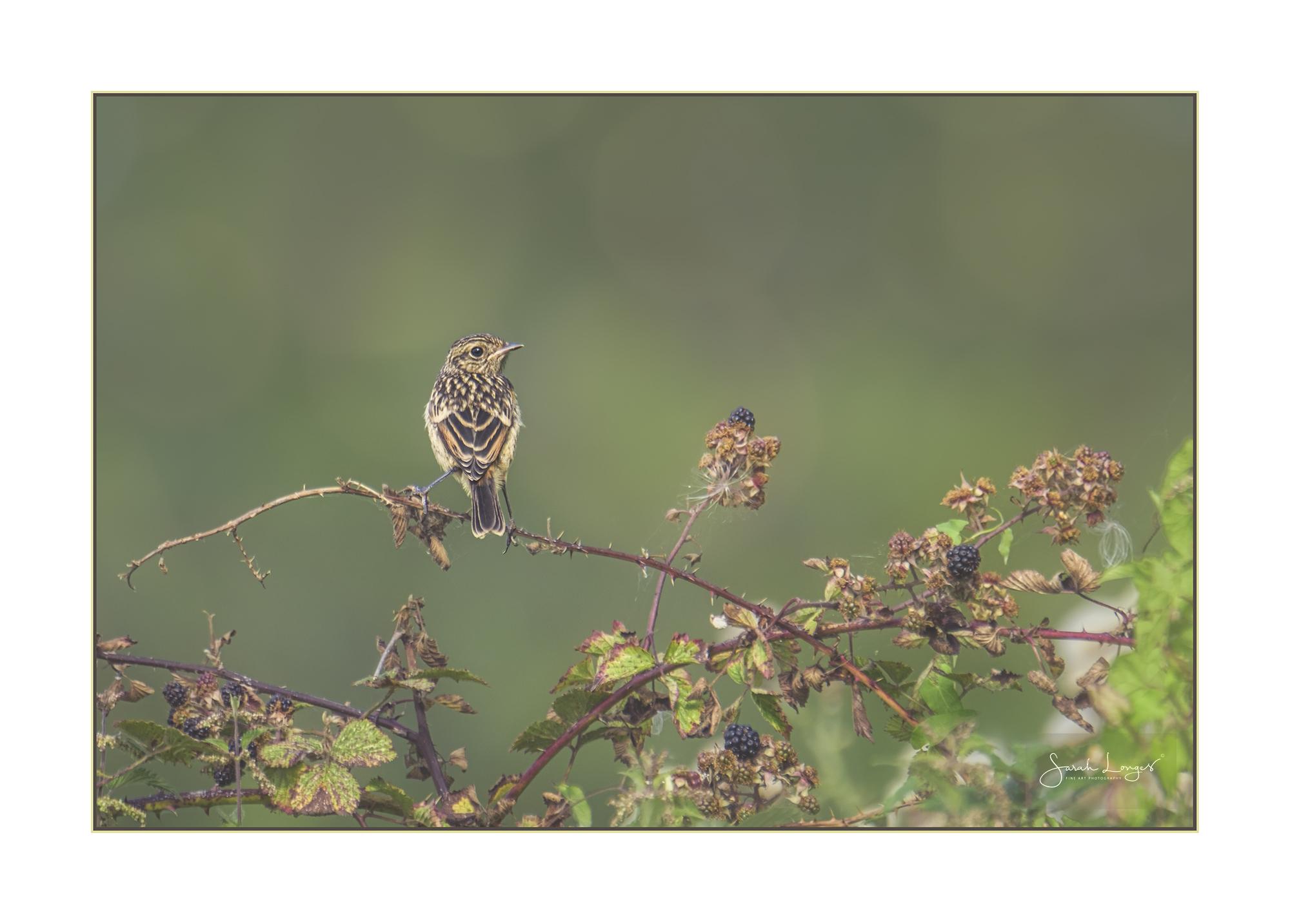 Female juvenile stonechat
